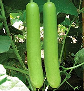 Splendour Seeds Bottle Gourd Long Seeds