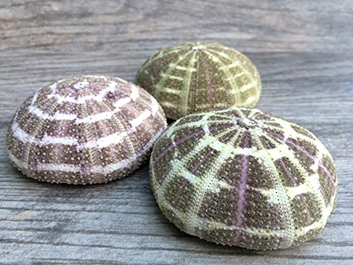 Alfonso Sea Urchins | 3 Large Alphonse Urchin Shells 3