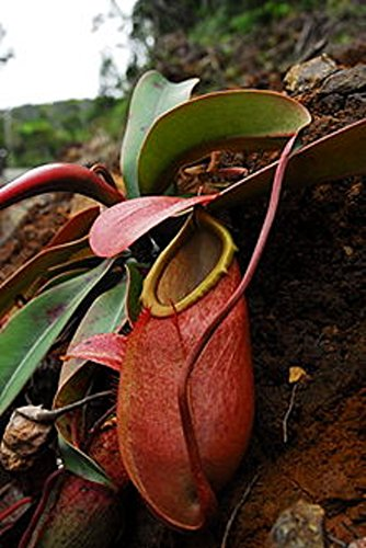 Nepenthes Pitcher Plant (Nepenthes Merrilliana ~ EXTREMELY RARE Lowland Huge Pitcher ~ Very Rare 5 Seeds ~)