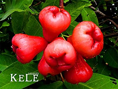 Promotion!50 PCS/bag rose apple seeds rare china fruit seeds for home garden planting easy grow
