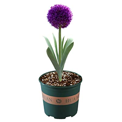 Giant Allium Giganteum Onion Flower Bulbs 1pcs, Dreamlike Purple Flower for Garden Spring Plant Decoration Circumference Bulbs 10cm~12cm (Blue Purple Bulb) : Garden & Outdoor