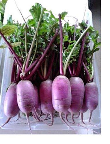 PURPLE DAIKON RADISH – Asian Vegetable - Japanese Unique Purple - Earrings Radish Luna