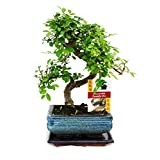 Bonsai Elm parvifolia S Style 7 yr - 1 tree