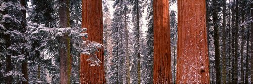Walls 360 Peel & Stick Wall Mural: Sequoia Trees Sequoia National Park CA (60 in x 20 in)