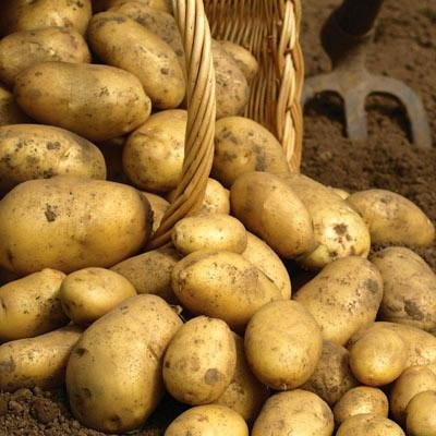 Simply Seed - 5 LB - Kennebec Potato Seed - Non GMO - Organic Grown - Order Now for Fall Planting by Simply Seed