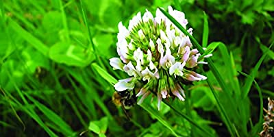 White Dutch Clover Grass Seed