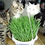 200pcs Cat Grass Seeds Organic wheat seeds, Green Plant