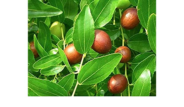 15 seed Ziziphus Jujuba Thai Jujube seeds Tropical Fresh Fruit