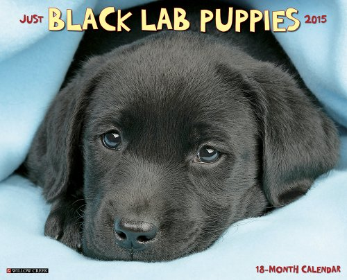 Just Black Lab Puppies - 6