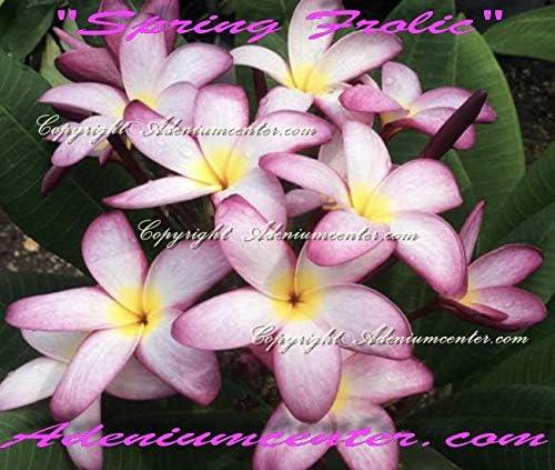 GEOPONICS New Plumeria RUBRA Frangipani Mystic Mauve 20FRESH