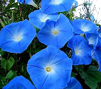 Purple Morning Glory Seeds - Ipomoea purpurea: Amazon ca
