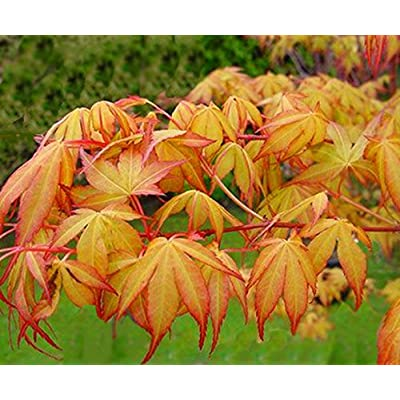 Katsura Japanese Maple 2 - Year TREE : Tree Plants : Garden & Outdoor