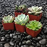 SucCuteLents 5 Pack - Indoor Succulent Plants Fully Rooted in Planter Pots with Soil - Real Live Potted Succulents Cactus Decor