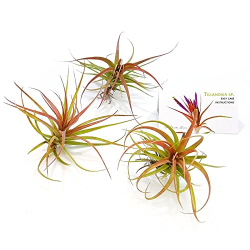 The Drunken Gnome AIR PLANTS – CONCOLOR SMALL – 1 PACK - air purifying flowering tillandsia for terrarium, fairy garden starter kit, home office, indoor outdoor, corporate gift