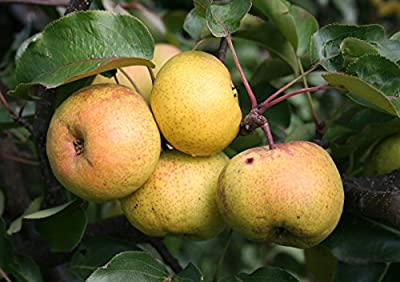 Chinese Pear, (Ussurian Pear), Pyrus ussuriensis, Tree Seeds (Fast, Fall Color) 60 seeds