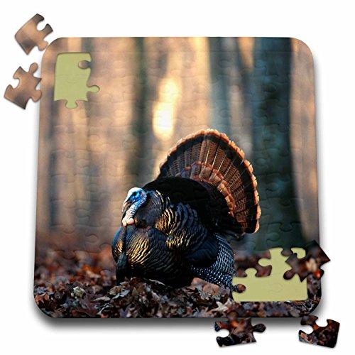 Danita Delimont - Turkey - Eastern Wild Turkey gobbler, Stephen A. Forbes State Park, Ilinois - 10x10 Inch Puzzle (pzl_250968_2)