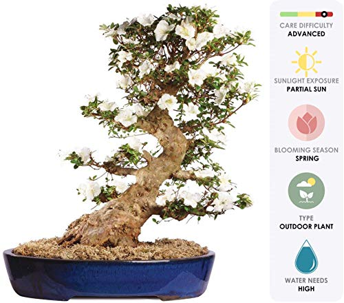 Brussel's Live Azalea Specimen Outdoor Bonsai Tree - 60 Years Old; 24'' Tall with Decorative Container by Brussel's Bonsai (Image #1)