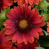 20 seed of Gaillardia Blanket Flower Mesa Red