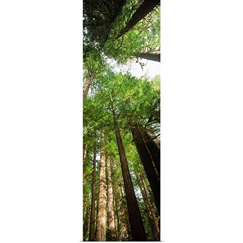 GREATBIGCANVAS Poster Print Entitled Coast Redwood (Sequoia sempivirens) Trees in a Forest, California by 12