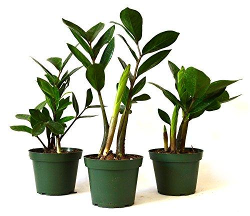 9Greenbox Zz Zamioculcas Zamiifolia Plant Pot, 4 Inch, 3 Pound (Pack of 3)