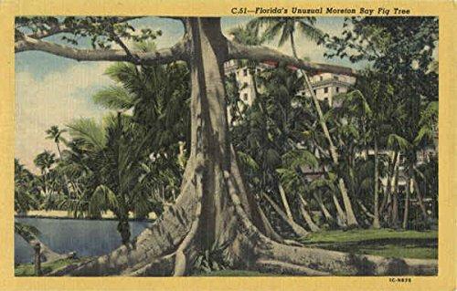 - Florida's Unusual Moreton Bay Fig Tree Scenic Original Vintage Postcard