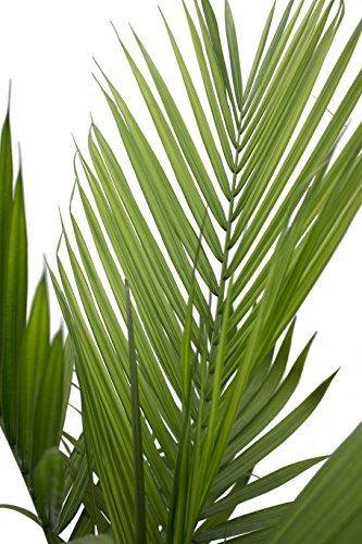 Costa Farms Majesty Palm Tree, Live Indoor Plant, 3 to 4-Feet Tall, Ships in Grow Pot, Fresh From Our Farm, Excellent Gift by Costa Farms (Image #3)
