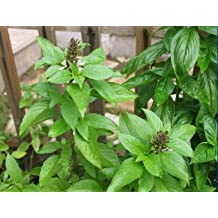 Heirloom 400 Seeds Sweet Holy Basil Ocimum Basilicum Tulsi White Flower Fresh Bulk Seeds B1099