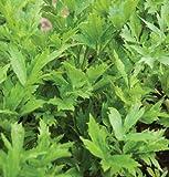 David's Garden Seeds Herb Lovage SL927A (Green) 500 Organic Seeds