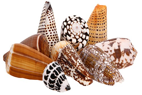 Conus Shell Pack - Sea Shells Mixed Beach Seashells - 350 Grams - Quality, Handpicked and Cleaned - Bag of Approx. 20 Seashells