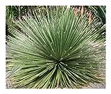 Dasylirion miquihuanense - Sotol tamaulipeco - 10 Seeds
