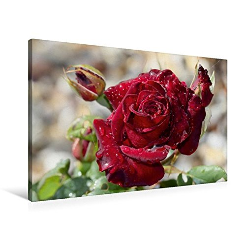 Calvendo Premium Textil-Leinwand 90 cm cm cm x 60 cm Quer, Zauberhafte Rosan   Wandbild, Bild auf Keilrahmen, Fertigbild auf Echter Leinwand, Leinwanddruck Natur Natur 88464c