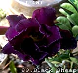 No89 Black Sheep, Desert Rose Adenium Obesum, mature plant, new hybrid, new arrival, very-rare, limited quantities!! new-new-new!!!