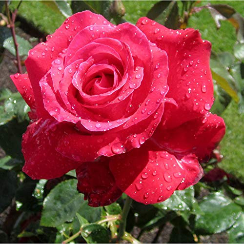 (Own-Root One Gallon Alec's Red Hybrid Tea Rose by Heirloom Roses )