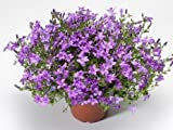 Campanula portenschlagiana Clockwise Compact Dp Blue 1,000 seeds