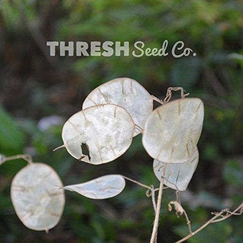Money (Silver Dollar) Plant - 100 Seeds (Dollar Lunaria Silver)