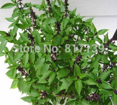 Diy Home Garden Plant 20 Seeds Green Holy Basil Ocimum Tenuiflorum Herb Seeds SVI