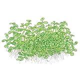 Tropica Micranthemum sp. 'Monte Carlo' Live Aquarium Plant - In Vitro Tissue Culture 1-2-Grow!