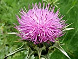 Seeds Antitoxin Milk Mary Holy Thistle Silybum Marianum Medicinal Organic Russian Ukraine