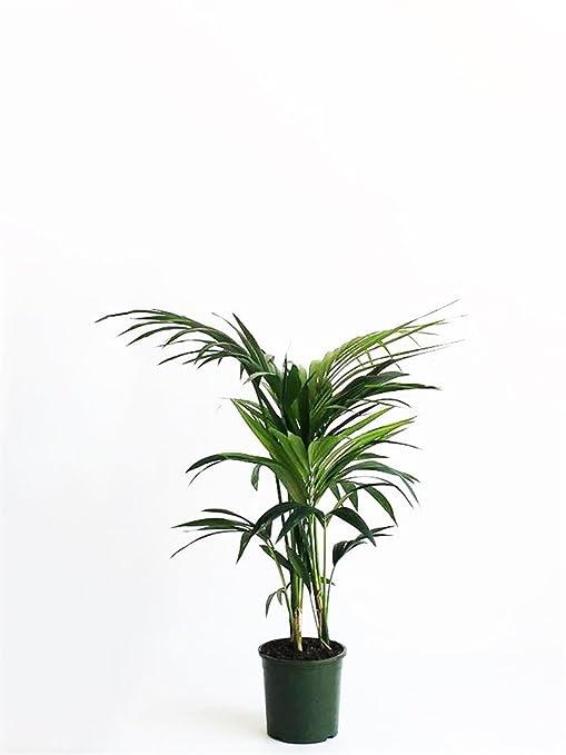 Piante Verdi Da Appartamento.Pianta Vera Verde Da Interno Kentia Della Tasmania Da Appartamento