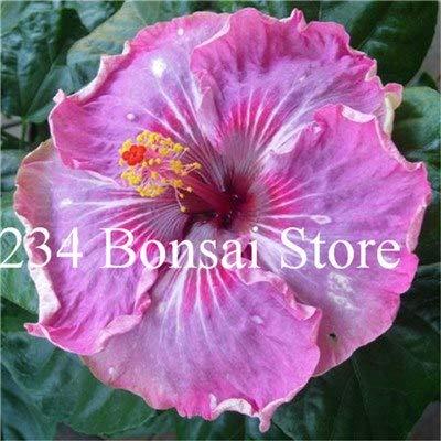 Pinkdose 100 pcs Hibiscus Géant Bonsai Dinnerplate Hibiscus Plante ...