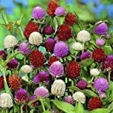 40+ GOMPHRENA AUDRAY Mix Flower Seeds/Annual/Heat & Drought Tolerant