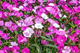 Dianthus gratianopolitanus 'firewitch' pink's Cheddar 30 Seeds