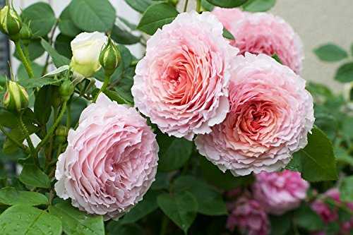 - 100 Pcs Climbing Colorful Rose Flowers Seeds For Garden Home Balcony Fences Yard Decoration Flowers Plants (James Galway Rosa Seedds)