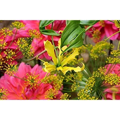 Gloriosa Carsonii - Pack of 3 Bulbs, not Seeds - Blooms this Summer | Ships From Mytree : Garden & Outdoor