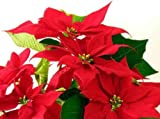 "Poinsettia Red Leaves - 24""W x 18""H - Peel and Stick Wall Decal by Wallmonkeys"