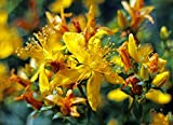 Print on Metal Hypericum Perforatum St John's Wort Blossom Bloom Print 12 x 18. Worry Free Wall Installation - Shadow Mount is Included.