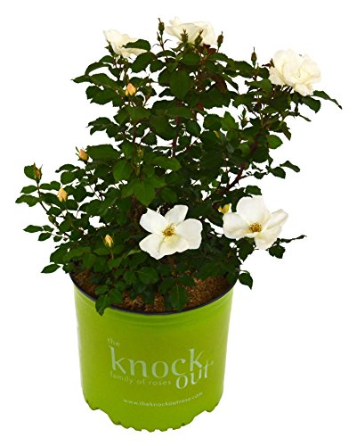 Knock Out Roses - Rosa White Knock Out (Rose) Rose, White Flowers, 3 - Size Container by Green Promise Farms