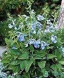 Salvia (Sage) patens Patio Sky Blue 1,000 seeds
