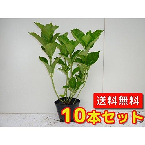 【ノーブランド品】アジサイ 赤花樹高0.3m前後15cmポット【10本セット】 B07B3QFX9F