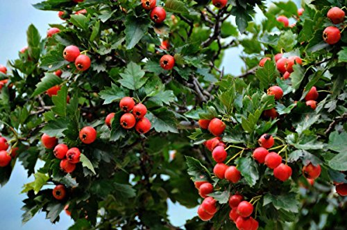 Wild Hawthorn Seeds (Crataegus monogyna) - Plant Seeds Now or Save Seeds for Many Years-20 seeds